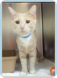 Domestic Shorthair Cat for adoption in Marietta, Georgia - TOBY (R)