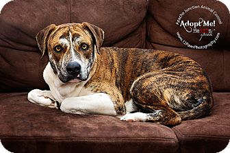 American Staffordshire Terrier/Cattle Dog Mix Dog for adoption in Apache Junction, Arizona - Gary