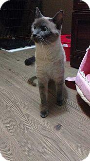 Siamese Cat for adoption in Mackinaw, Illinois - Wendy