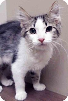 Domestic Shorthair Kitten for adoption in Hinsdale, Illinois - Wendy