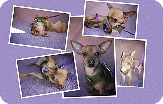 Chihuahua Mix Dog for adoption in Danbury, Connecticut - Kalisto
