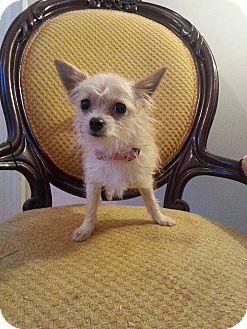 Cairn Terrier Mix Puppy for adoption in Gaithersburg, Maryland - LD