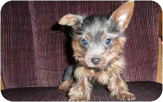 Yorkie, Yorkshire Terrier Mix Puppy for adoption in Grove City, Ohio - Chance-Adopted!
