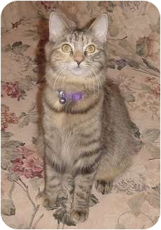 Domestic Mediumhair Cat for adoption in Franklin, North Carolina - Penny