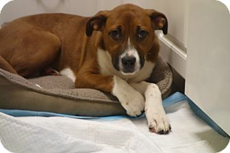 Boxer/Hound (Unknown Type) Mix Puppy for adoption in Long Beach, New York - Rocky