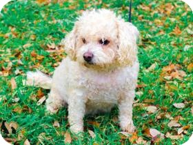 Bichon Frise Dog for adoption in Spring Branch, Texas - Scooter