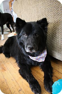 Chow Chow Mix Dog for adoption in Denver, Colorado - Shadow