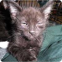 Adopt A Pet :: Bagheera - Warren, MI