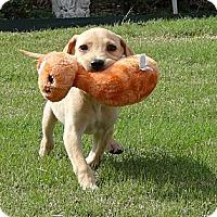 Adopt A Pet :: *Isabella - PENDING - Westport, CT