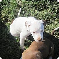 Adopt A Pet :: Harper - Copperas Cove, TX