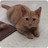 Adopt A Pet :: Fluffy - Warren, OH