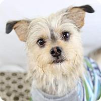 Adopt A Pet :: Scruffy - West Orange, NJ