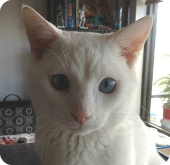 Domestic Shorthair Cat for adoption in Toronto, Ontario - Anderson
