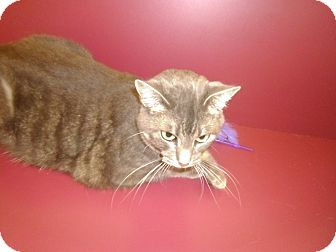 Domestic Shorthair Cat for adoption in Muscatine, Iowa - Celia