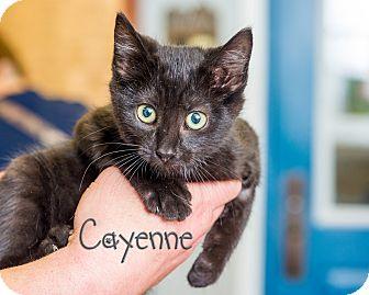 Domestic Shorthair Kitten for adoption in Somerset, Pennsylvania - Cayenne