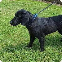 Adopt A Pet :: Star Gazer - Harrisonburg, VA