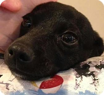 Dachshund/Chihuahua Mix Puppy for adoption in Centerville, Georgia - Herman