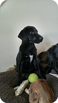Labrador Retriever Mix Puppy for adoption in Westminster, Colorado - Baxter