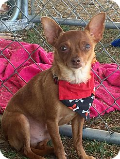 Chihuahua Mix Dog for adoption in Rancho Cucamonga, California - MIKE