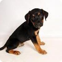 Catahoula Leopard Dog Mix Puppy for adoption in St. Louis, Missouri - Pierce Catahoula