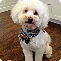 Bichon Frise Dog for adoption in Redondo Beach, California - Prince  **URGENT**