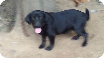 Basset Hound/Labrador Retriever Mix Dog for adoption in Mexia, Texas - Spice