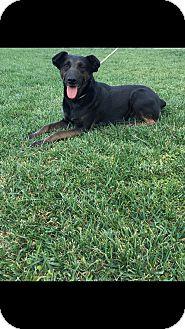 German Shepherd Dog/Australian Cattle Dog Mix Dog for adoption in Orange County, California - Stacy