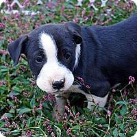 Adopt A Pet :: Indiana - Bayshore, NY