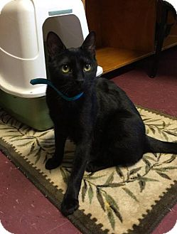 Domestic Shorthair Cat for adoption in Bridgewater, New Jersey - Midnight