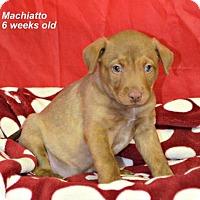 Adopt A Pet :: Machi - Yreka, CA