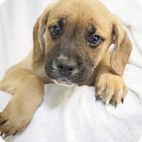 Adopt A Pet :: Blitzen - Bedford, IN