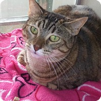 Domestic Shorthair Cat for adoption in Ft. Lauderdale, Florida - Stephanie