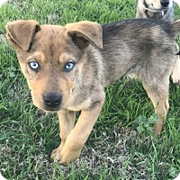 Adopt A Pet :: Ronaldo - Dallas, TX