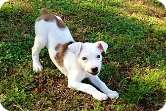 Catahoula Leopard Dog/Labrador Retriever Mix Puppy for adoption in Richmond, Virginia - Lovey