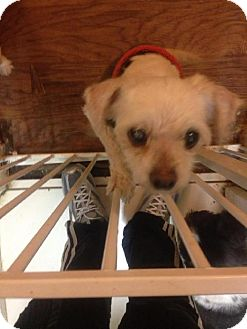 Maltese Dog for adoption in San Diego, California - Bobby