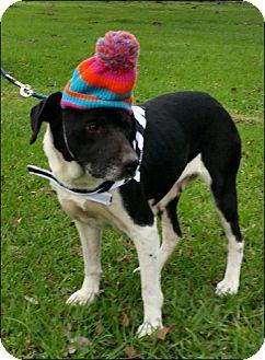 Labrador Retriever Mix Dog for adoption in Simsbury, Connecticut - Wilmington