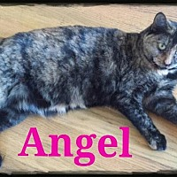 Domestic Shorthair Cat for adoption in St. Louis, Missouri - Angel (Courtesy Posting)