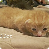 Adopt A Pet :: Ross (meow) - Elgin, IL