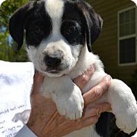 Adopt A Pet :: Star - Washington, DC