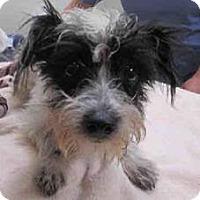 Adopt A Pet :: Dahlia - San Diego, CA