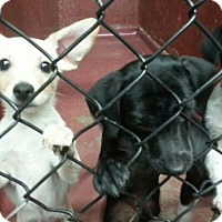 Adopt A Pet :: Puppies - Greeley, CO