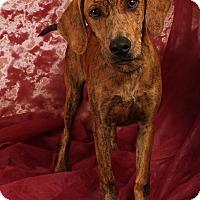 Adopt A Pet :: Princeton PlotHoundCur - St. Louis, MO