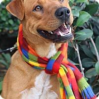 Adopt A Pet :: Harley - South El Monte, CA