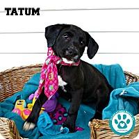 Adopt A Pet :: Tatum - Kimberton, PA