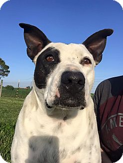 Pit Bull Terrier Mix Dog for adoption in Russellville, Kentucky - Petie
