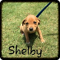 Adopt A Pet :: Shelby (POM DC) - Harrisonburg, VA