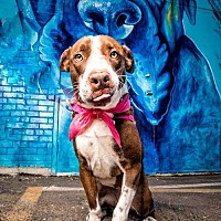 American Pit Bull Terrier Mix Dog for adoption in Denton, Texas - Daisy Mae II