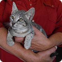Adopt A Pet :: Doodlebug - Surrey, BC