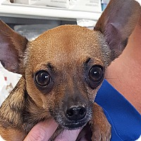 Chihuahua Mix Dog for adoption in Germantown, Maryland - Taco