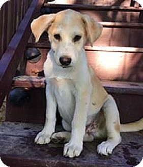 Siberian Husky/Pointer Mix Puppy for adoption in Chantilly, Virginia - Bella Baby Butterscotch